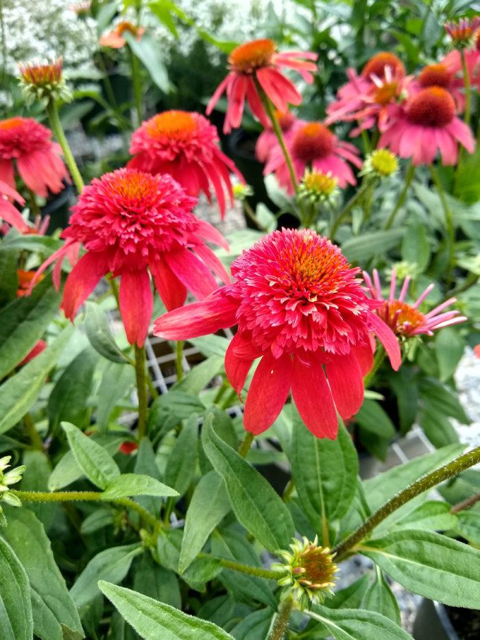 Double Scoop™ Mandarin coneflower (Echinacea 'Balscandin', Zones 4-9)