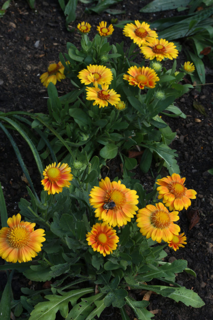 'Arizona Apricot' blanket flower (Gaillardia 'Arizona Apricot', Zones 4-10)