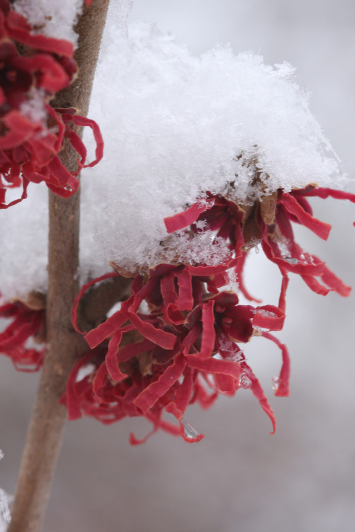Purple witch hazel (Hamamelis vernalis 'Purpurea', Zones 4-8)