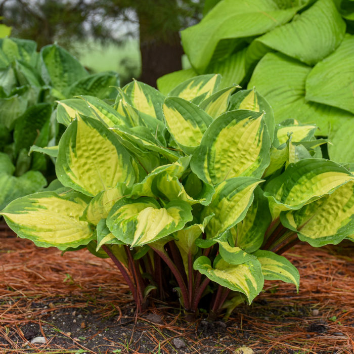 'Island Breeze' hosta (Hosta 'Island Breeze', Zones 3-9)