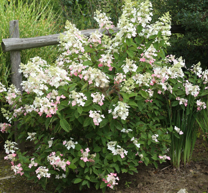 Magical® Fire panicle hydrangea (Hydrangea paniculata 'Bokraplume', Zones 5-9)