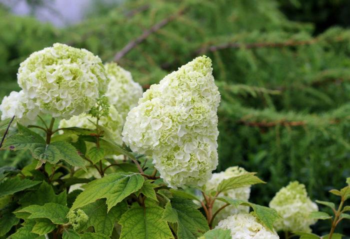 Gatsby Moon® oakleaf hydrangea (Hydrangea quercifolia 'Brother Edward', Zones 5 to 9)