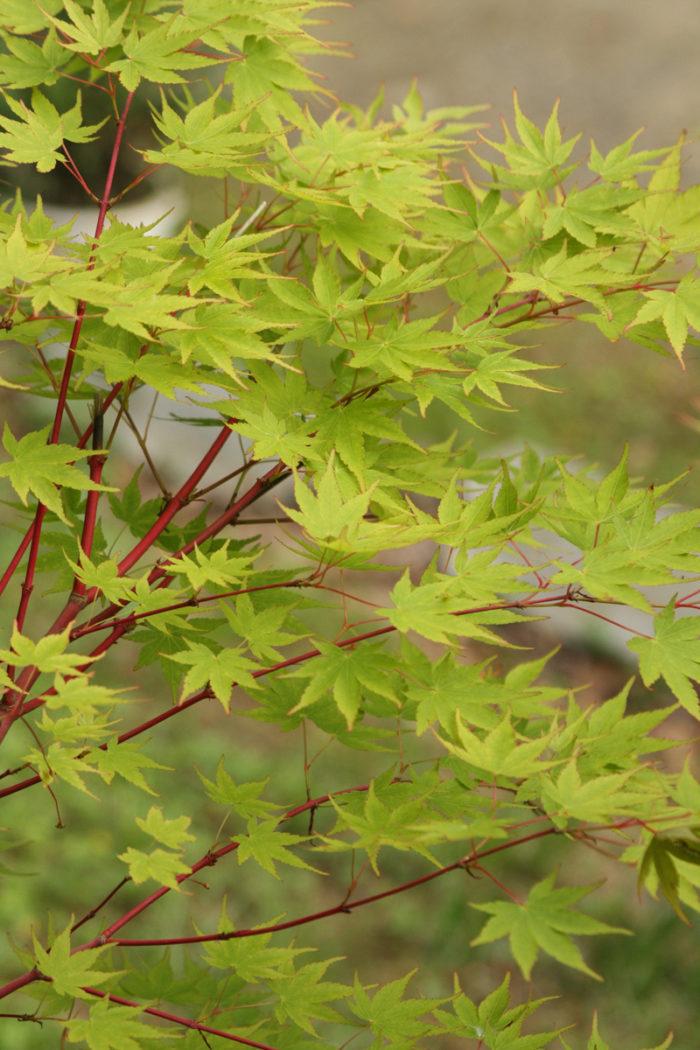 Coral bark maple (Acer palmatum 'Sango kaku', Zones 5-8)