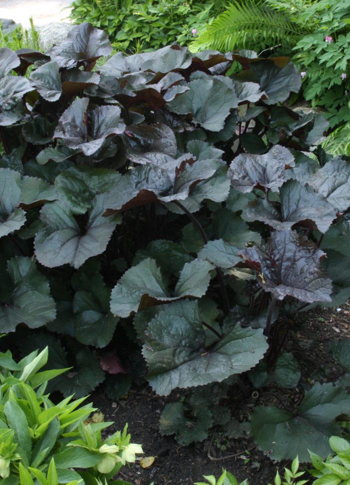 'Britt Marie Crawford' ligularia (Ligularia 'Britt Marie Crawford', Zones 4-8)