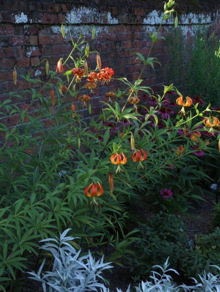 Turk's cap lily (Lilium superbum, Zones 5-8)