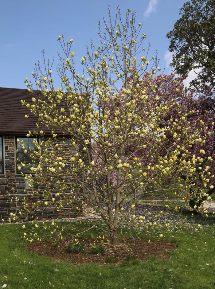 'Lois' magnolia (Magnolia 'Lois', Zones 4-8)