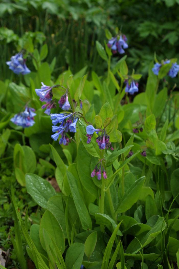 Virginia bluebells (Mertensia virginica, Zones 3-8)