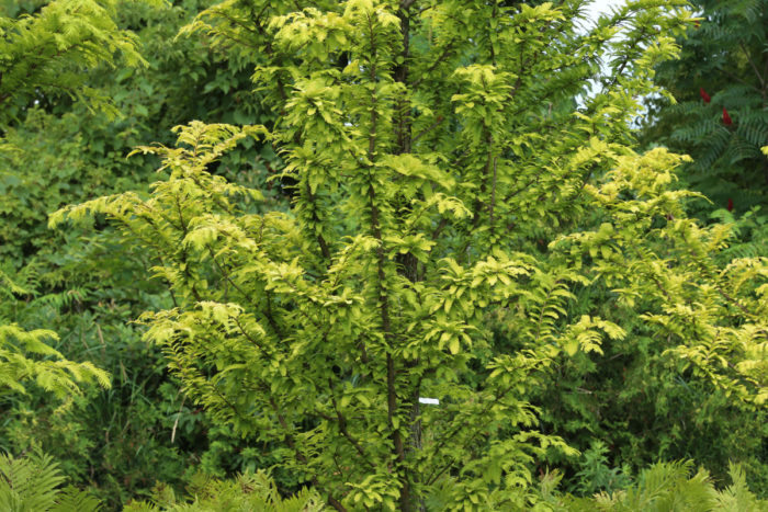 'Gold Rush' dawn redwood (Metasequoia glyptostroboides 'Gold Rush', Zones 4-8)