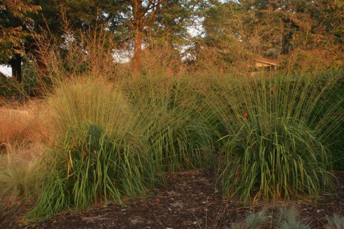 'Skyracer' purple moor grass (Molinia caerulea ssp. arundinacea 'Skyracer', Zones 5-8)