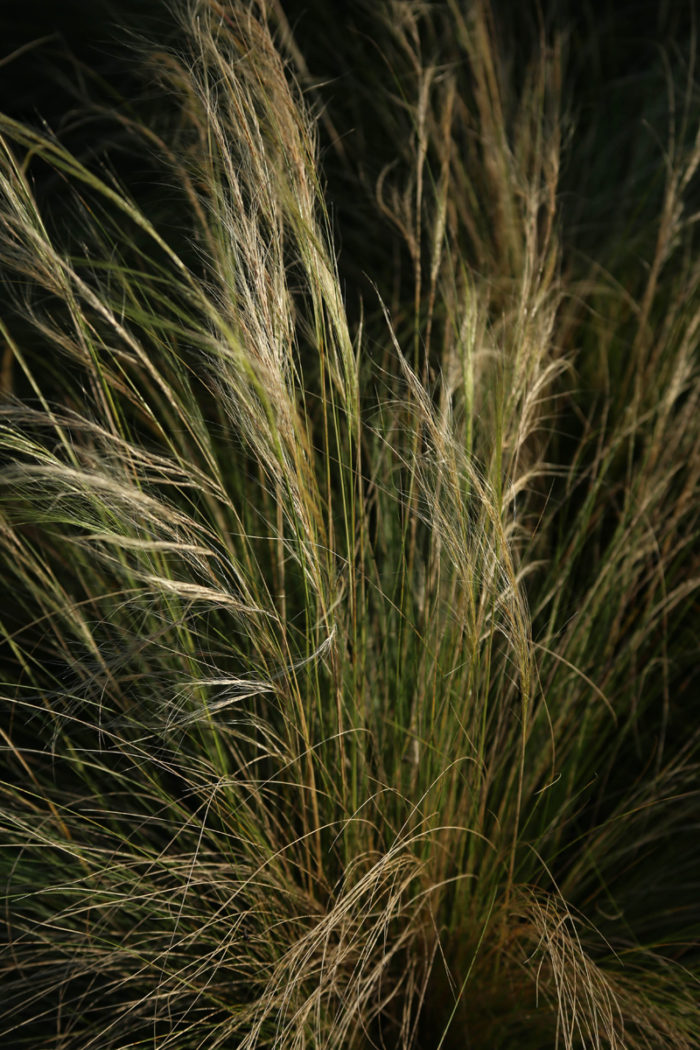 Mexican feather grass (Nassella tenuissima, Zones 7-10)