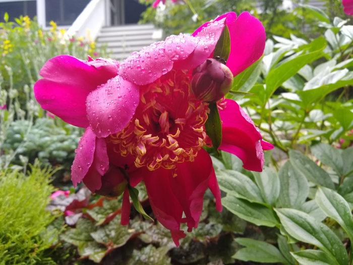 'Sword Dance' peony (Paeonia lactifolia 'Sword Dance', Zones 3-8)