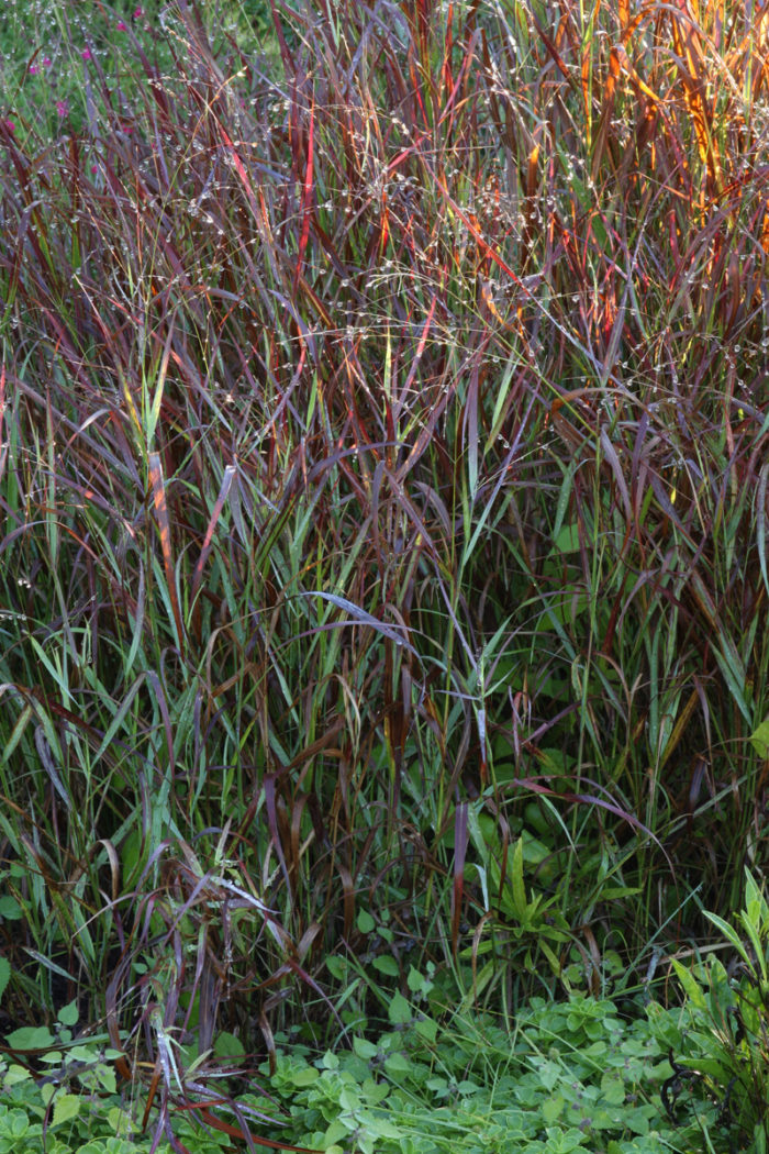 'Shenandoah' switch grass (Panicum virgatum 'Shenandoah', Zones 5-9)