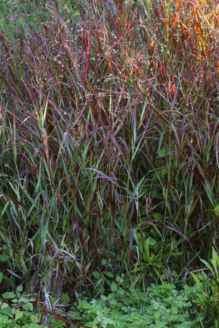 'Shenandoah' switch grass (Panicum virgatum 'Shenandoah', Zones 5-9)