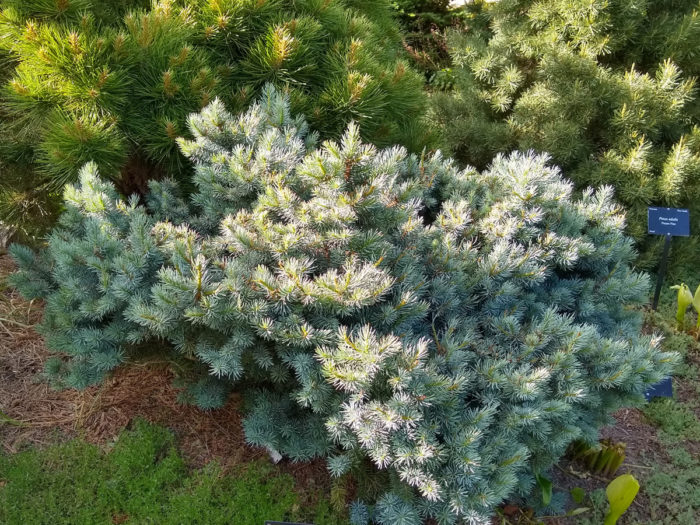 'Haley's Blue' Colorado blue spruce (Picea pungens 'Haley's Blue', Zones 2-8)