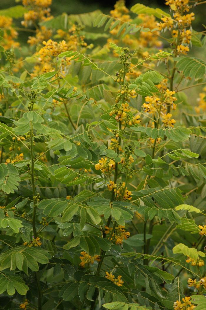 Maryland senna (Senna marilandica, Zones 4-9)