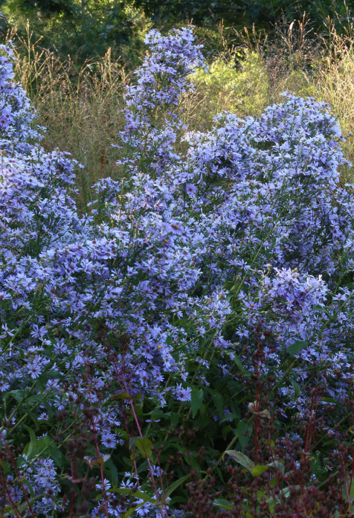 'Bluebird' smooth blue aster (Symphyotrichum laeve 'Bluebird', Zones 4–8)