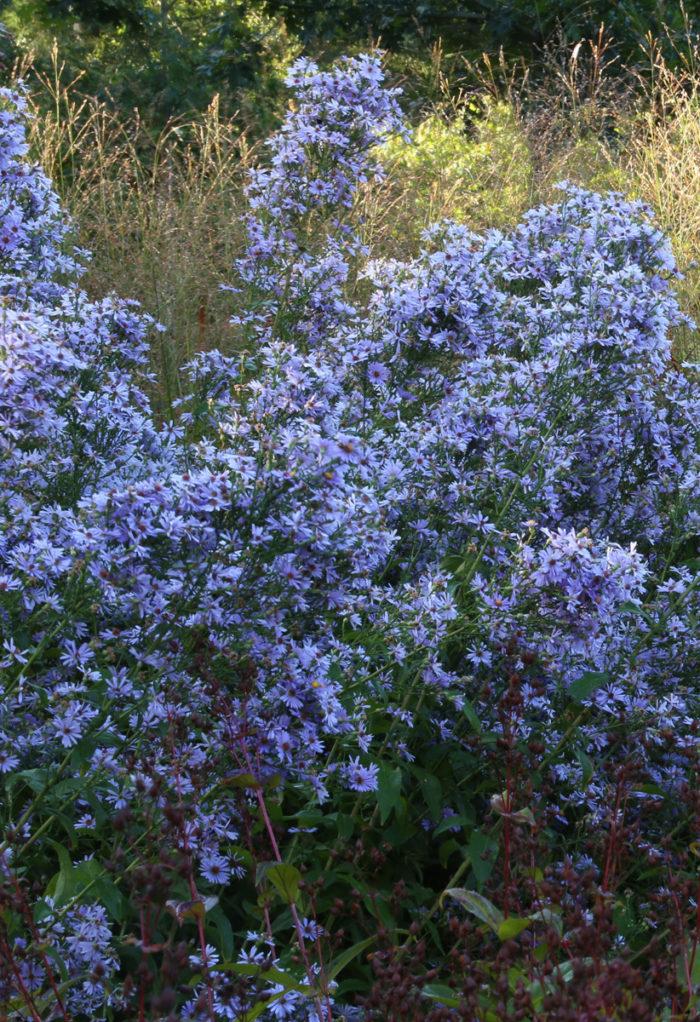'Bluebird' smooth blue aster (Symphyotrichum laeve 'Bluebird', Zones 4–8)