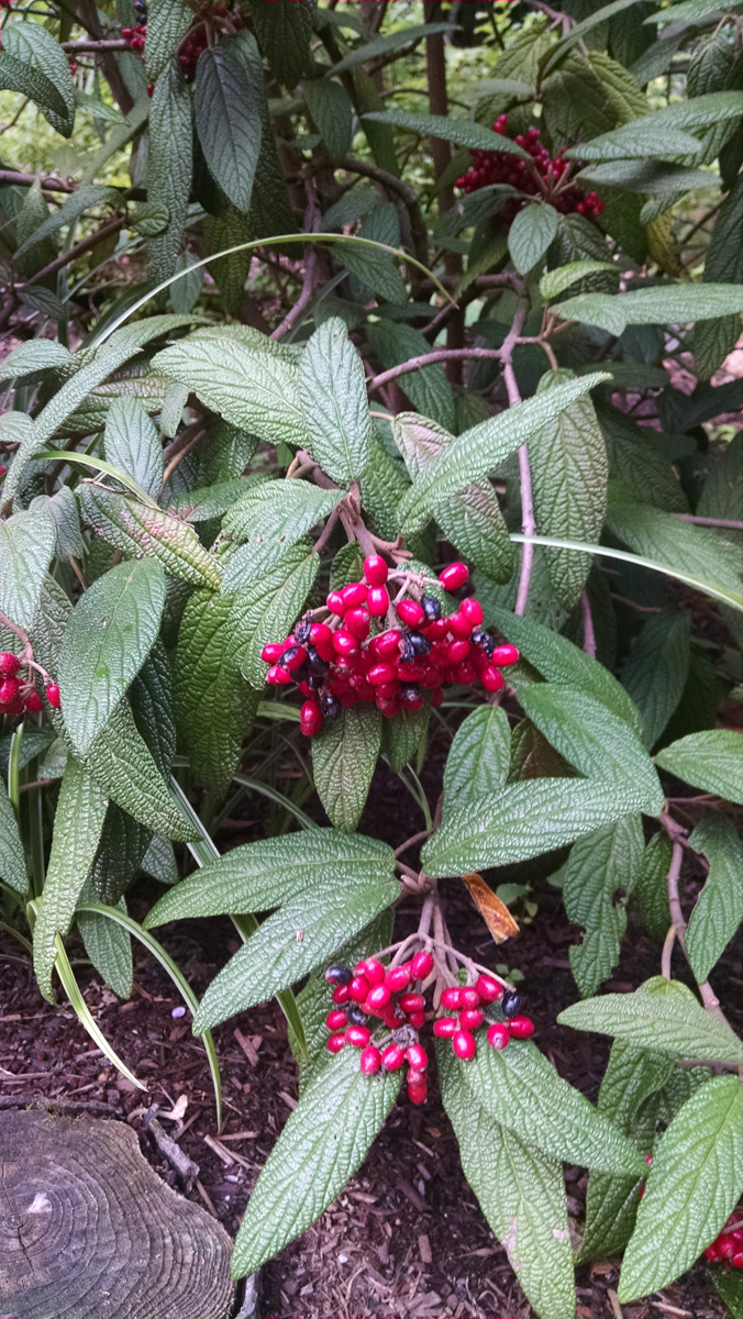 Leatherleaf viburnum (Viburnum rhytidophyllum, Zones 5-8)
