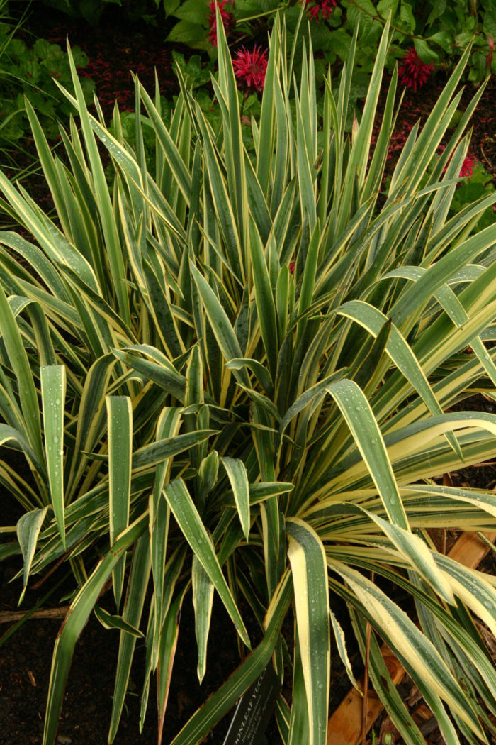 'Bright Edge' yucca (Yucca filamentosa 'Bright Edge', Zones 4-9)