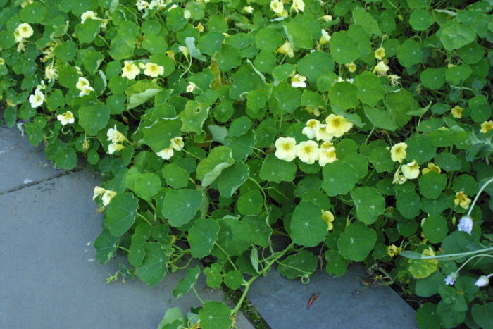 Nasturtiums are such prolific growers that they may resemble a sprawling ground cover over time. 'Milkmaid' is a buttery yellow cultivar.