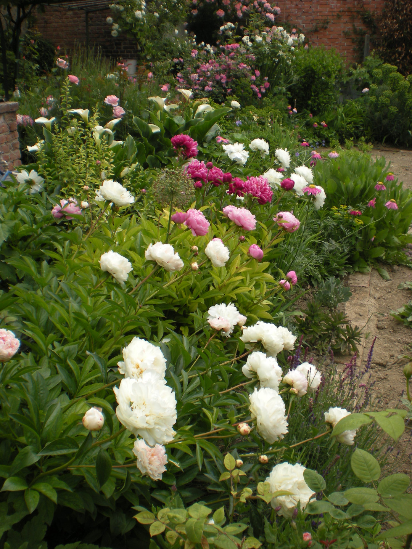 Common garden peony