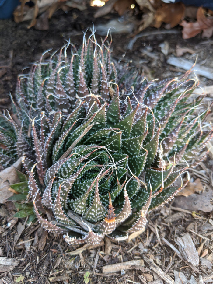 Lace aloe (A. aristata) (photo credit: Joseph Tychonievich)
