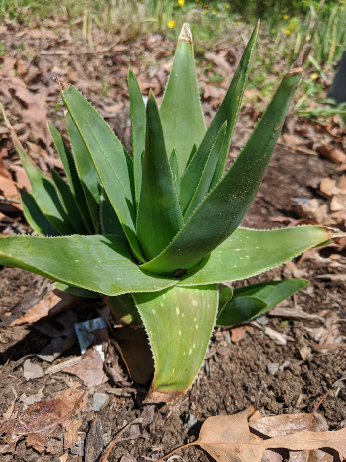 Grass aloe (A. ecklonis) (photo credit: Joseph Tychonievich)