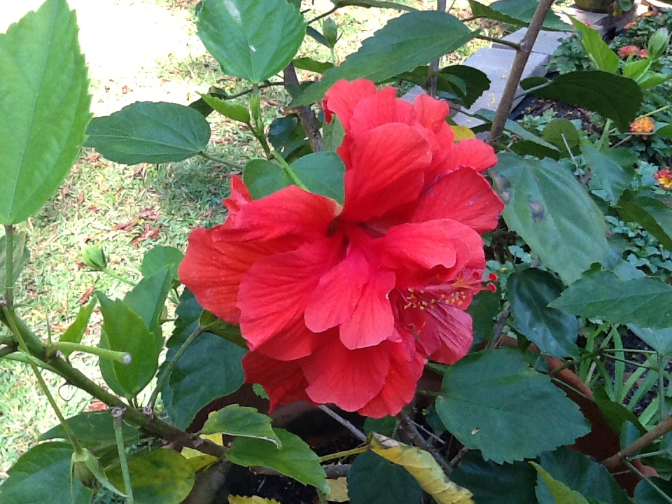 double-flowered hibiscus