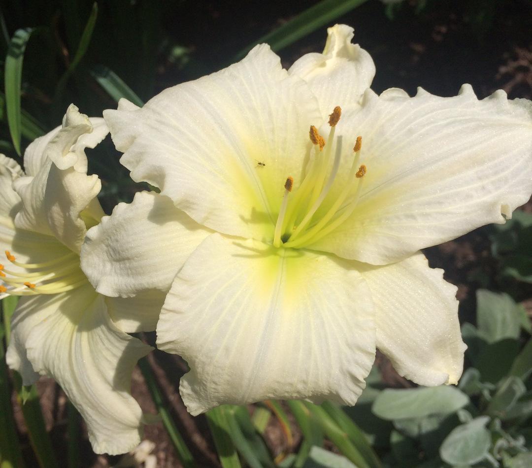 Hemerocallis 'Lady Elizabeth'