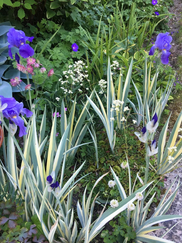 Variegated pallida irises