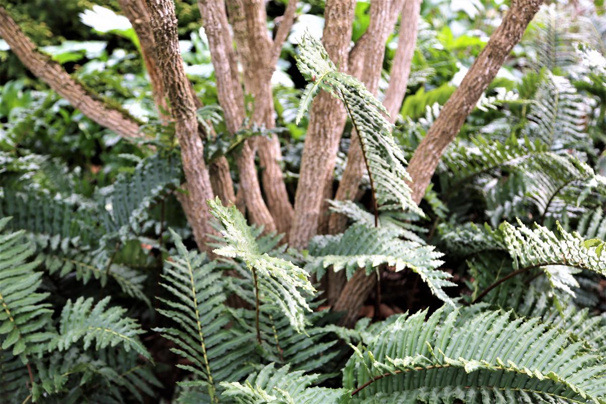 Chilean hard ferns