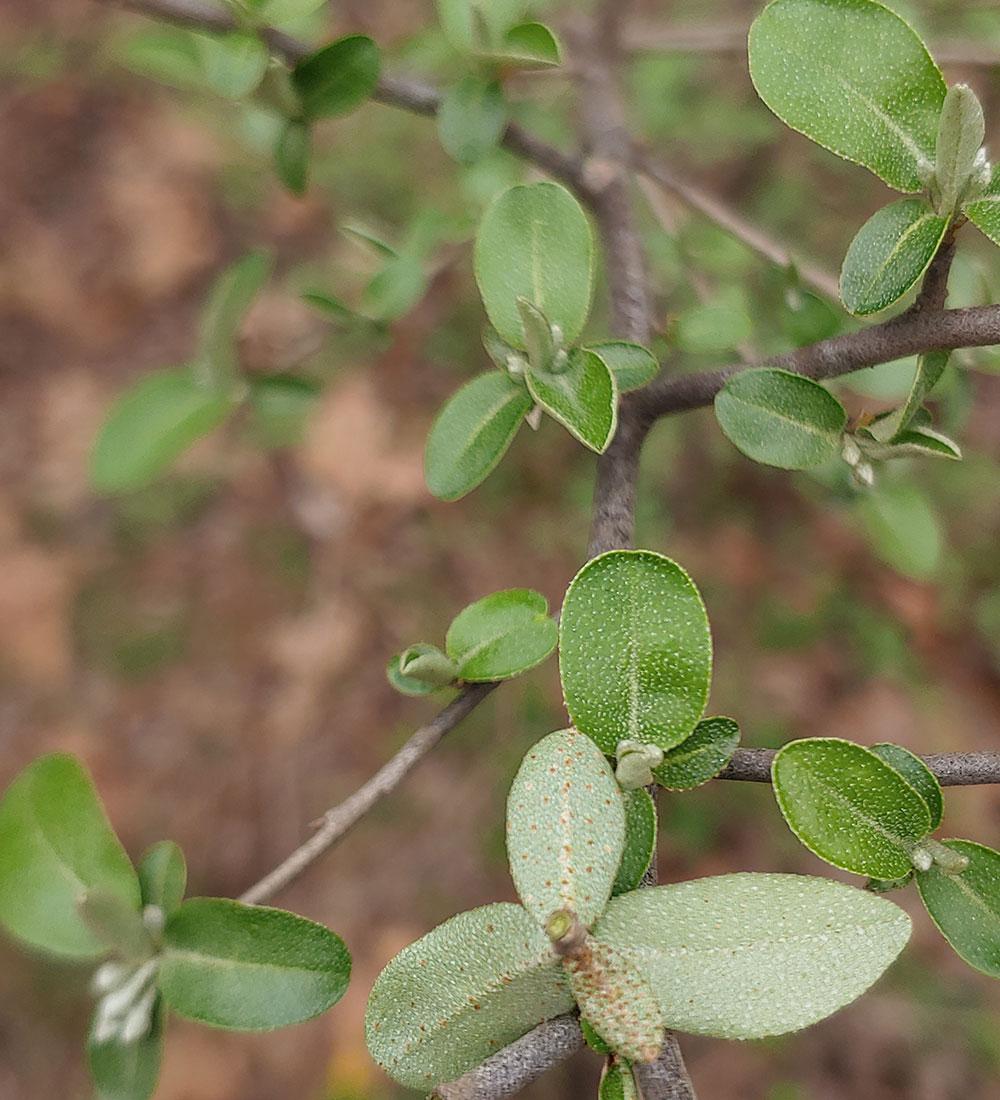 Thorny olive