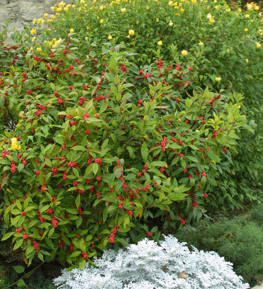 'Winter Red' winterberry
