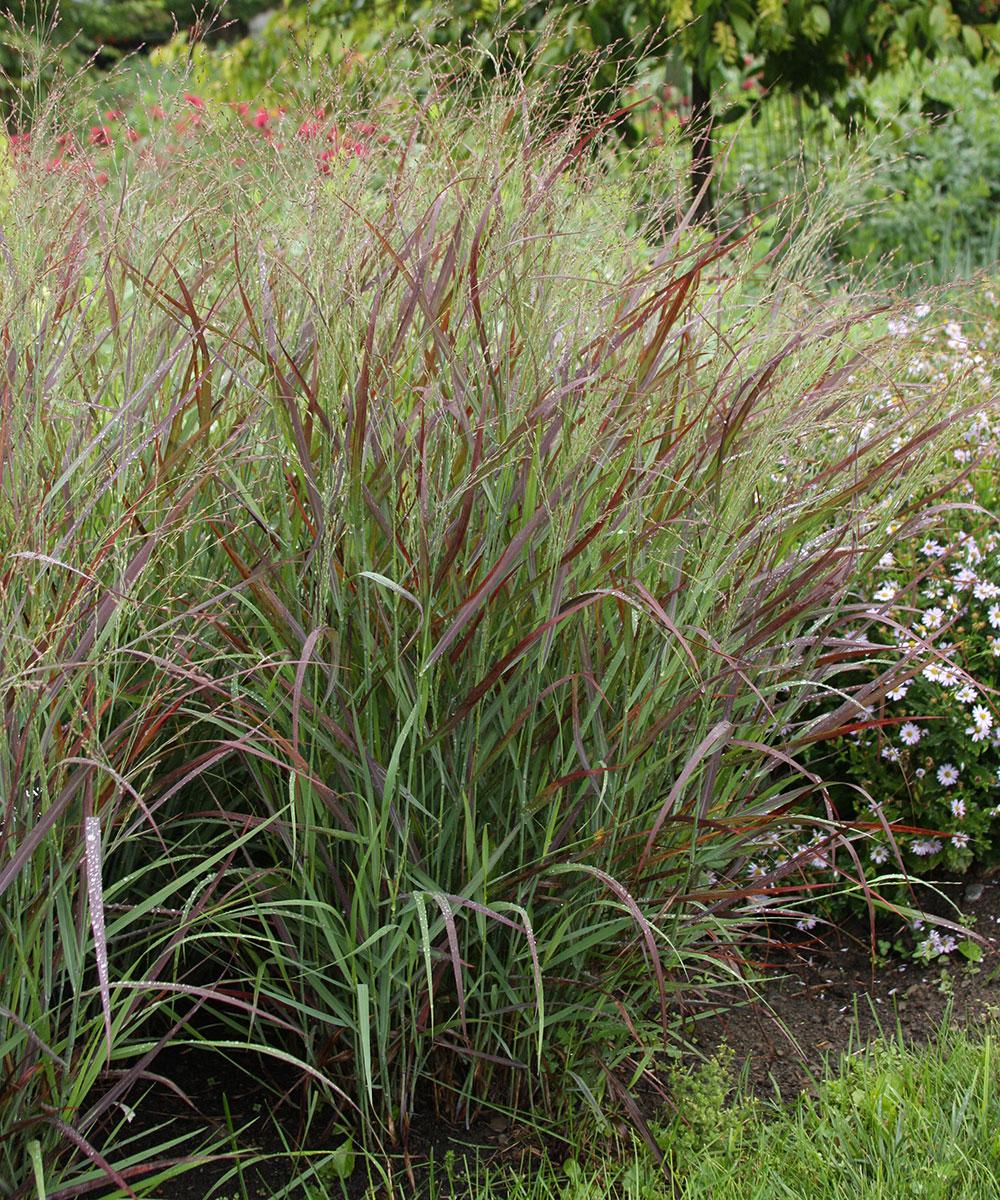 'Cheyenne Sky' switchgrass