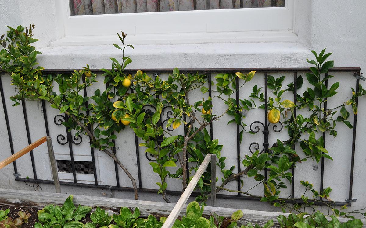 citrus espalier
