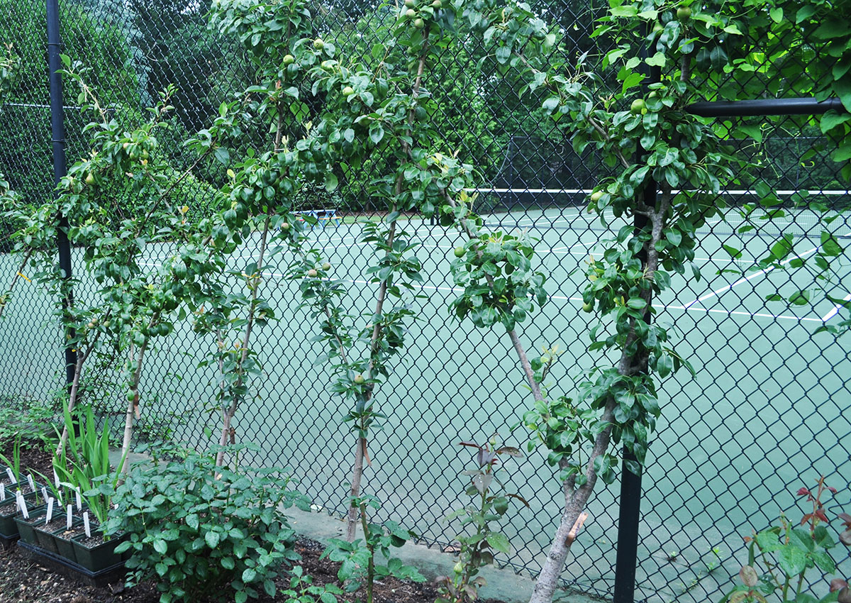 pear trees on a fence