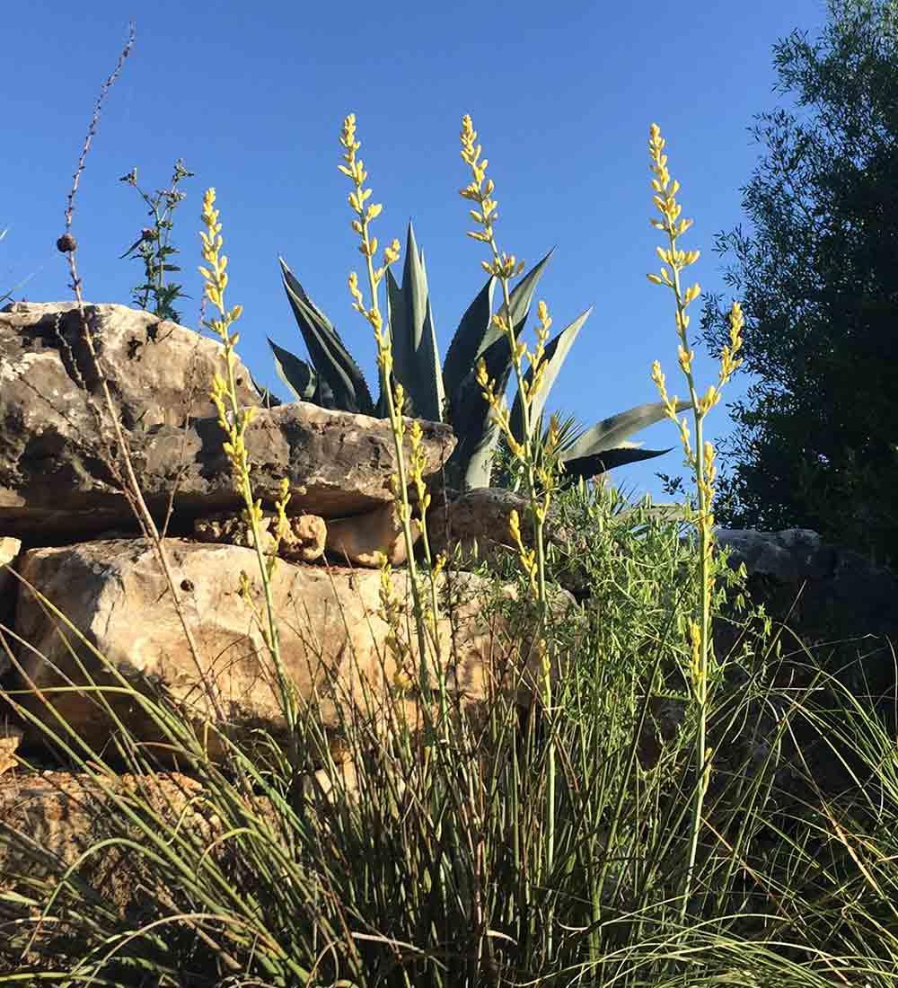 'Yellow' red yucca