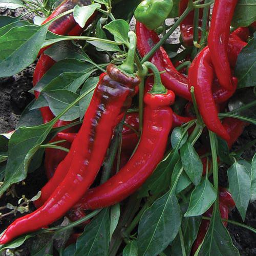 'Jimmy Nardello' sweet Italian frying pepper
