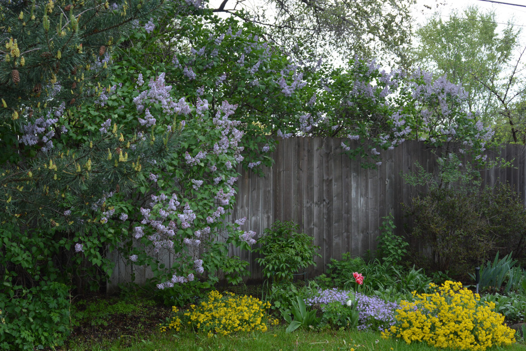 Fragrant lilacs