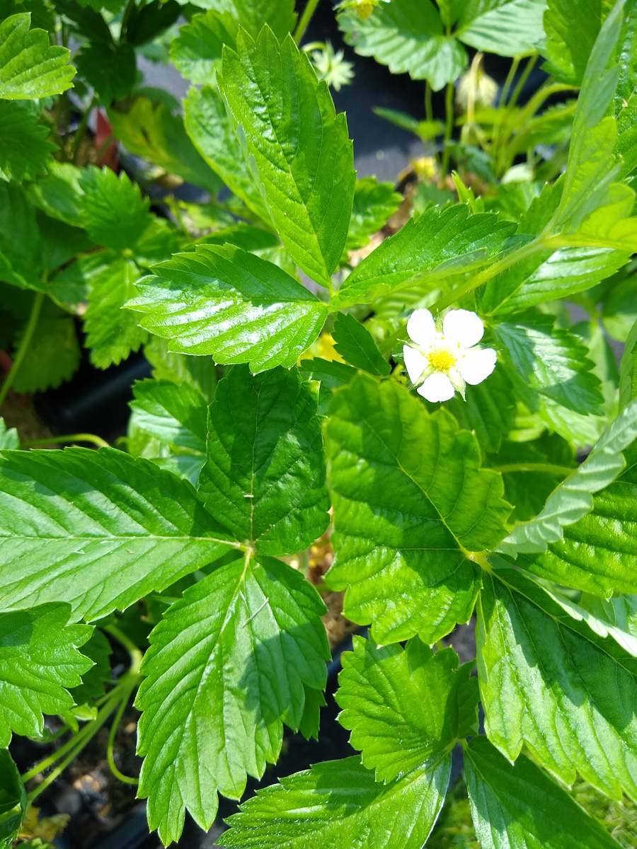 'Yellow Wonder' alpine strawberry