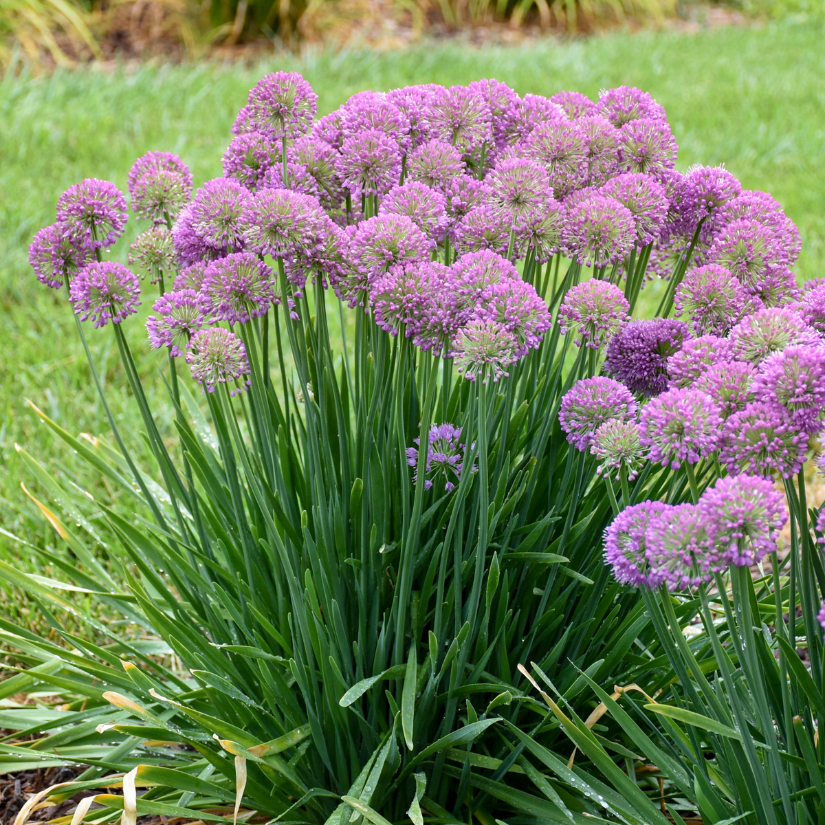 'Serendipity' allium (photo credit: Walters Gardens, Inc.)