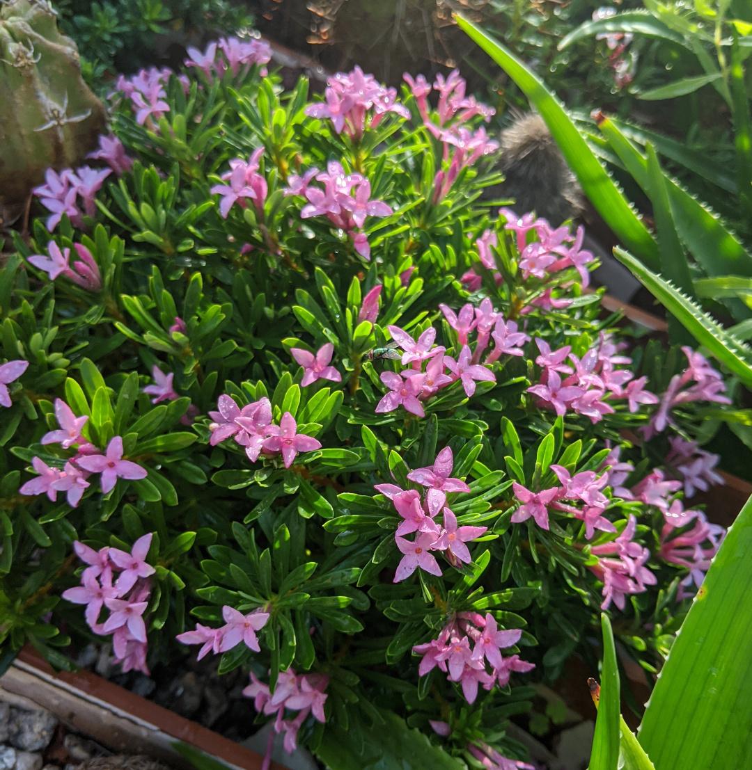 Daphne cneorum x arbuscula