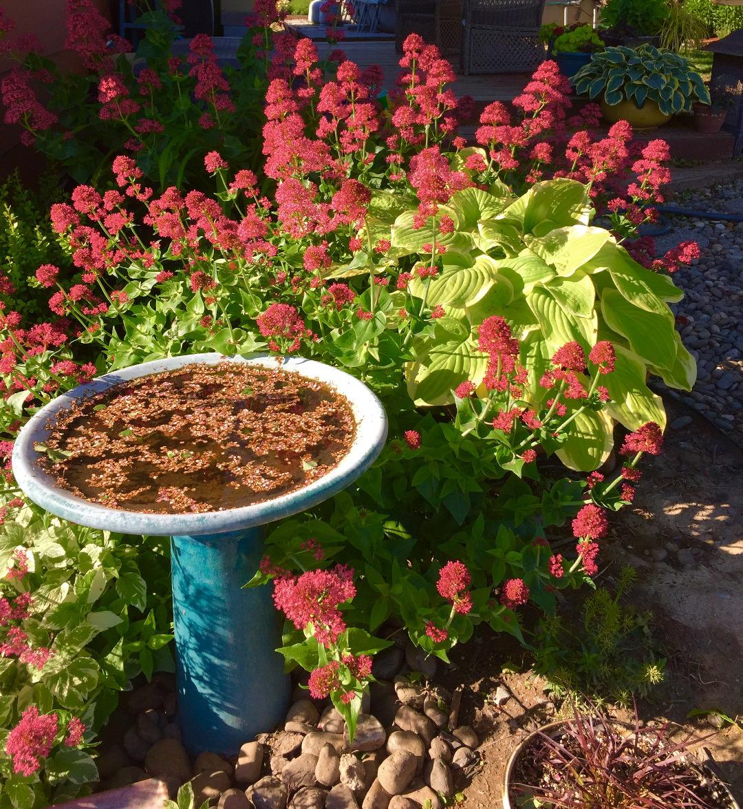 Valerian in bloom
