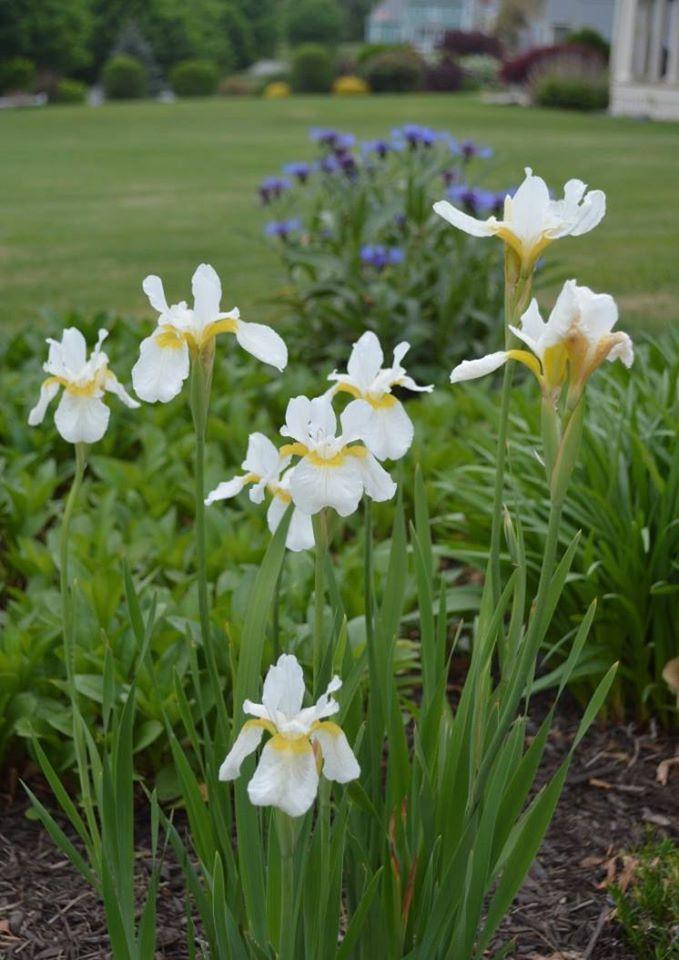 Siberian iris 'White Swirl'