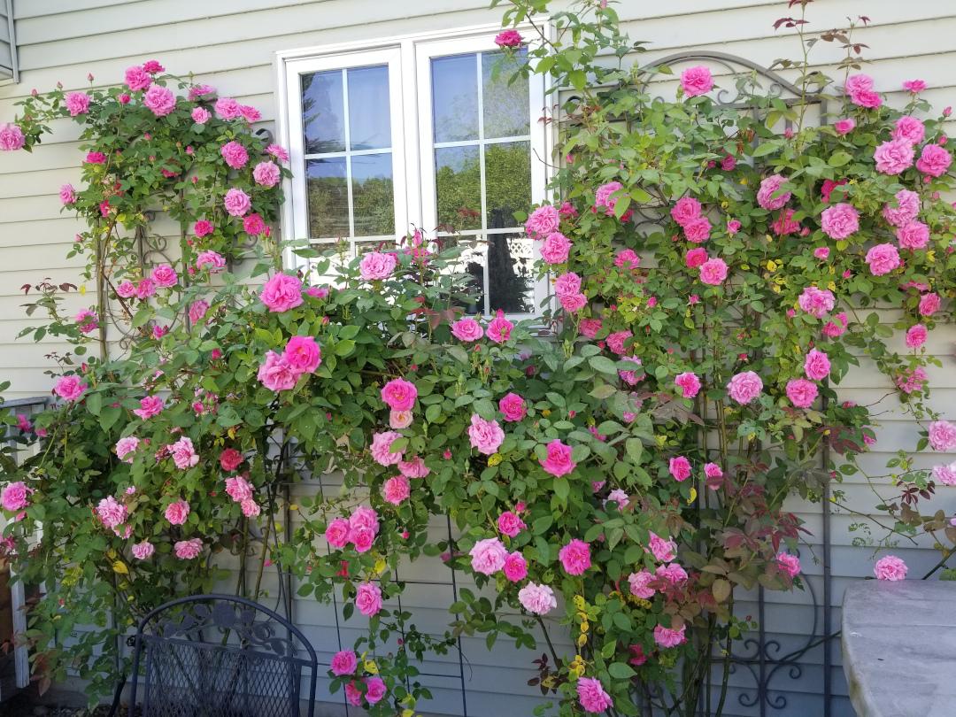 climbing 'Zepherine Drouhin' roses