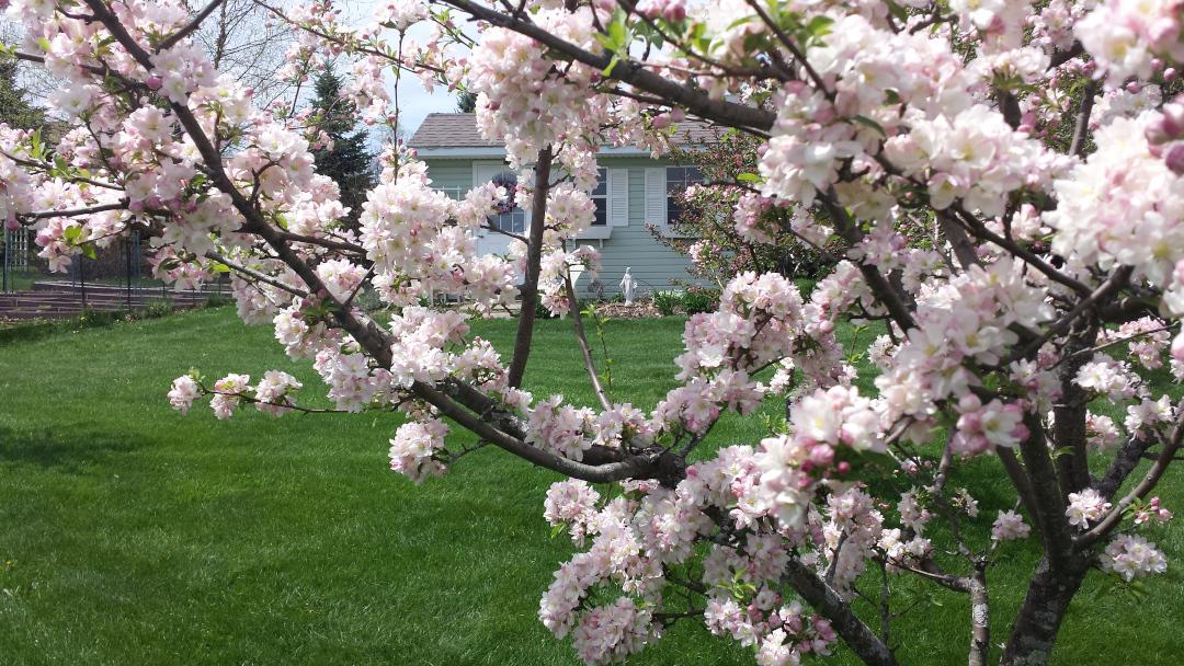 'Sugar Tyme' crabapple tree