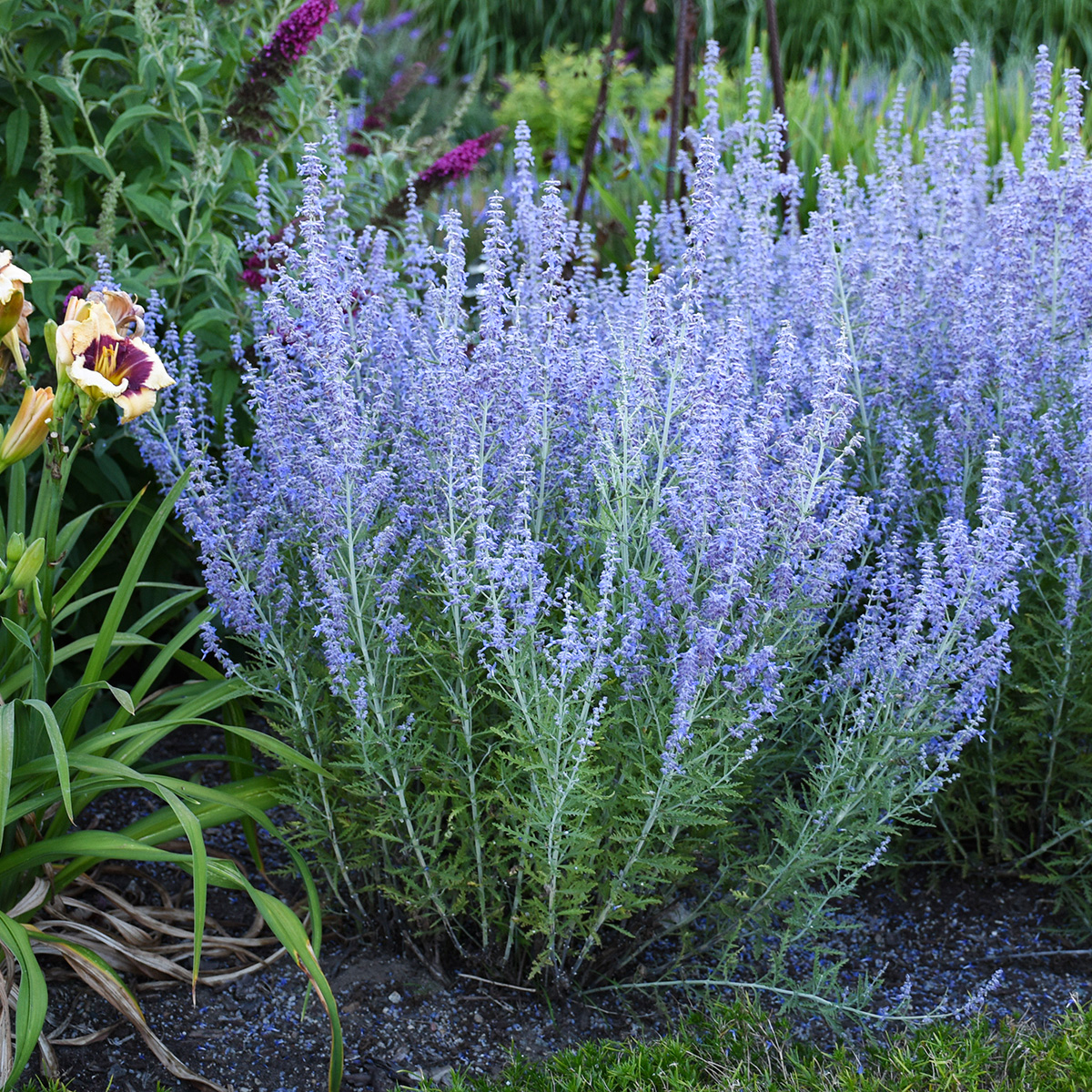'Blue Jean Baby' Russian sage (photo credit: Walter's Gardens, Inc.)