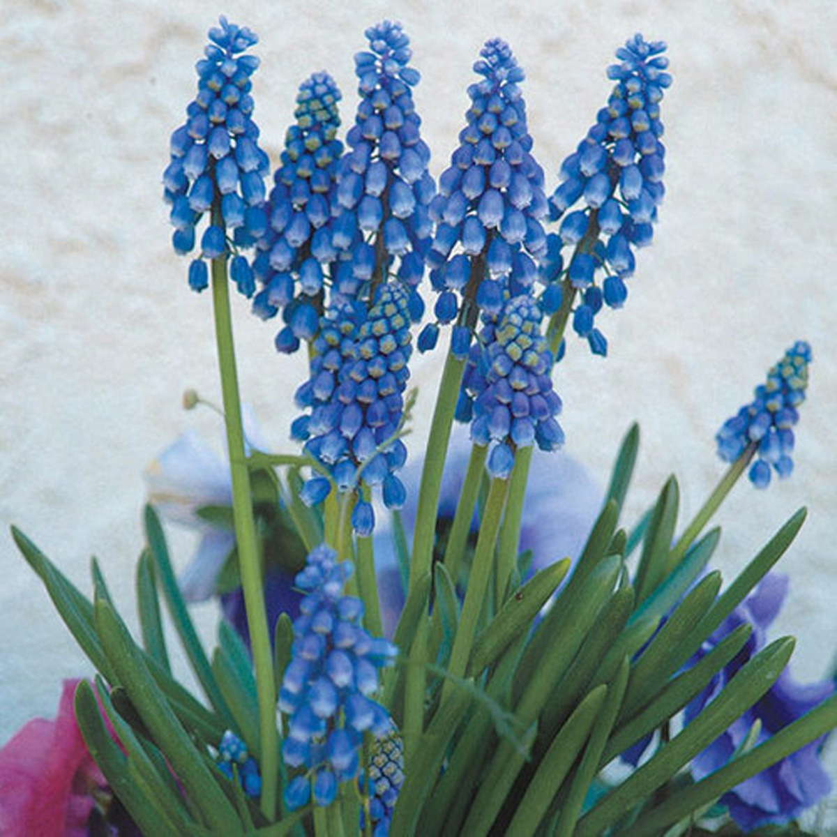 'Blue Magic' grape hyacinth