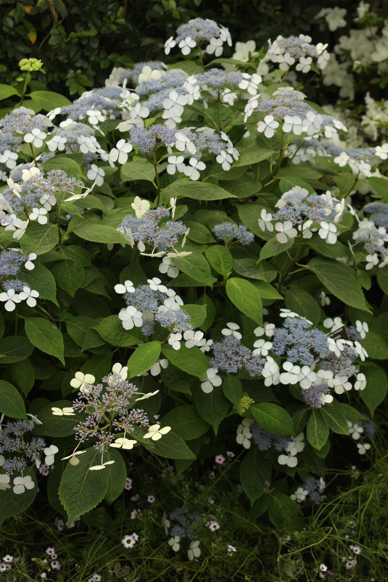 'Bluebird' mountain hydrangea