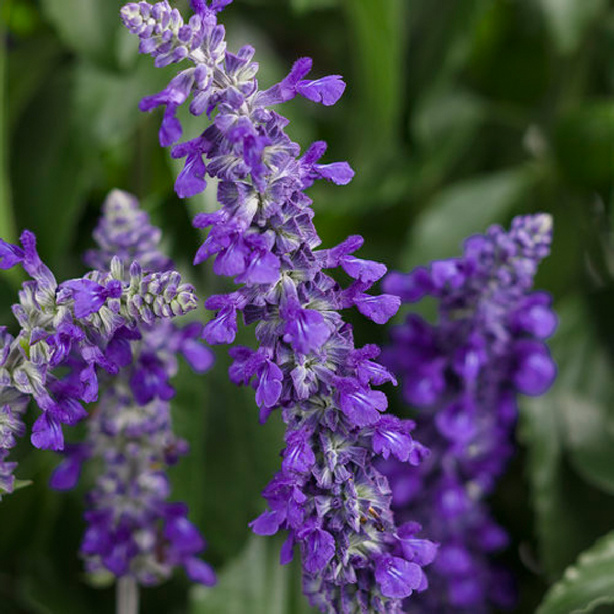 Playin the Blues® salvia (photo credit: Proven Winners®)